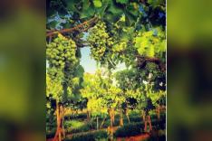 ارض زراعيه ٥٠ فدان في الخطاطبه - مزرعة عنب
